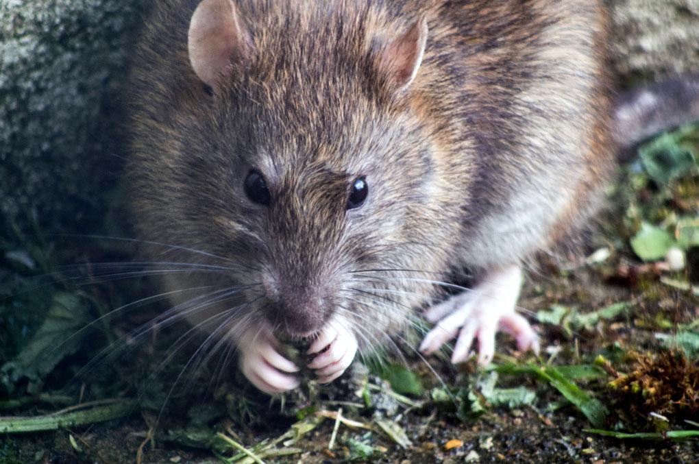 Ratten-Minensucher