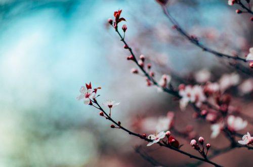 cherry-blossom-1209577_1920